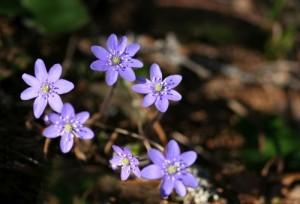 violets-rs